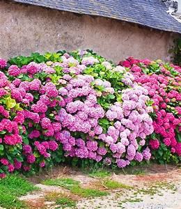 Online Pflanzen Kaufen : 3 freiland hortensien hecke 39 pink ros 39 3 pflanzen g nstig online kaufen mein sch ner garten ~ Watch28wear.com Haus und Dekorationen