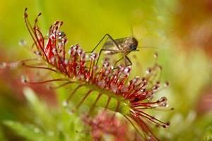 Mückenplage Im Haus : fleischfressende pflanzen gegen m cken so bek mpfen sie sie ~ Orissabook.com Haus und Dekorationen
