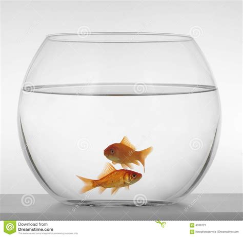 poisson dans un aquarium poissons rouges dans un aquarium sur un fond blanc image stock image 4336121