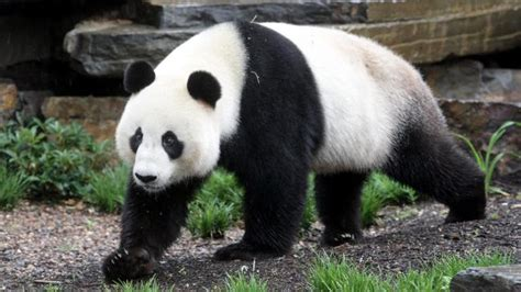 penny wong unveils pandas wang wang  funi  adelaide zoo