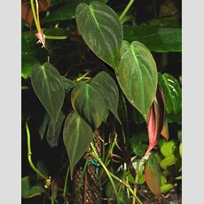 Velvet Leaf Philodendron (philodendron Scandens Micans