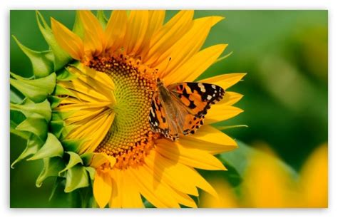 Butterfly On Sunflower 4k Hd Desktop Wallpaper For 4k