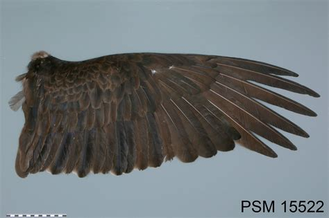 turkey vulture wing specimen from the slater museum