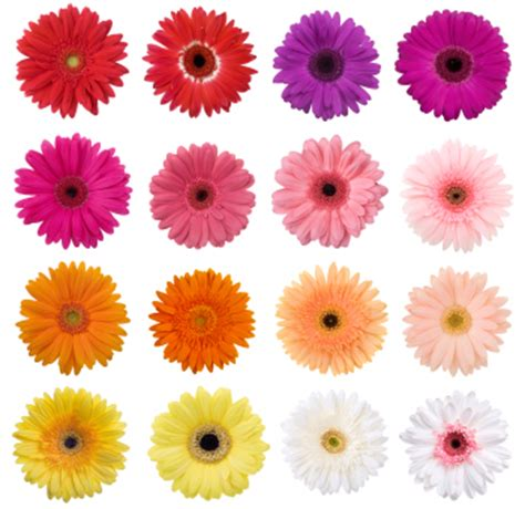 gerbera daisies colors 301 moved permanently