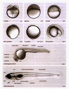 Zebrafish as a model organism in Developmental Biology ...