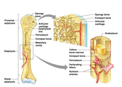 Along with the fibula, it forms the lower part. Structure and functions of bones - Online Science Notes