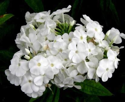 white garden flowers trumpet vine new hshire garden solutions