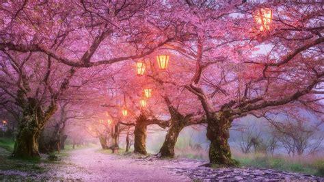 iwakuni cherry blossom japan hd wallpaper wallpaper