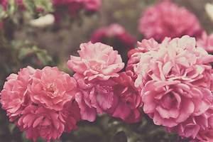 Begleitpflanzen Für Rosen : die 94 besten rosen hintergrundbilder f r tumblr ~ Lizthompson.info Haus und Dekorationen
