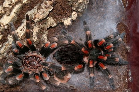 Can Tarantulas Shed Their Skin by Warning Spiders My Pets All Creatures Wildlife