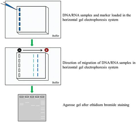 nucleic acid electrophoresis protocols introduction