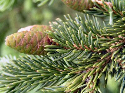 balsam fir tree water plants animals the canadian taiga