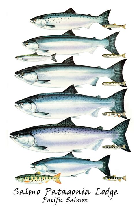 types of salmon patagoniadream com the home of spl salmo patagonia lodge
