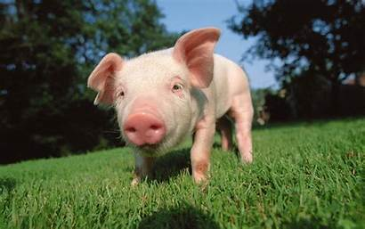 Pig Wallpapertag