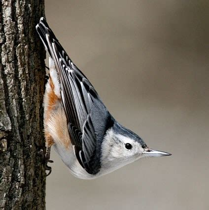 white breasted nuthatch identification all about birds