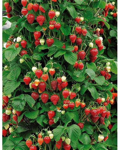 fraisiers fraise mount everest  cultiver jardin pot