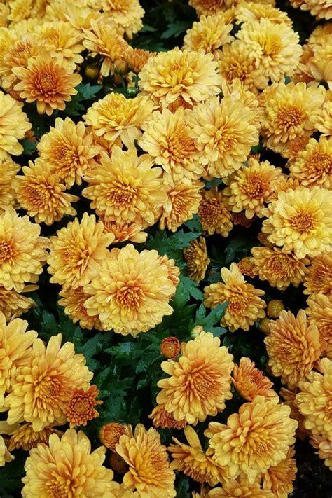 cred dark oxx yellow flowers flower wallpaper