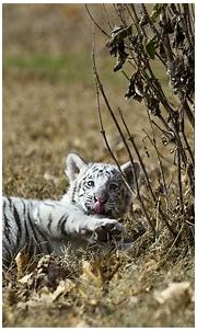 nature, Animals, Tigers, White, Tiger, Cubs, Baby, Animals ...