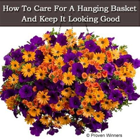 how to maintain petunias 25 best ideas about petunia care on pinterest petunia flower hanging flower baskets and