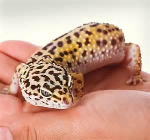 Leopard Gecko Lizard PetSmart