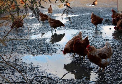 cuisiner une poule le panier rend visite à la ferme du coq et hop une