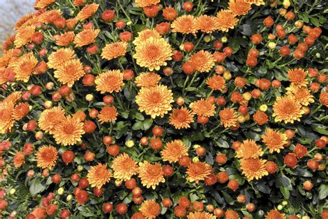Planting garden mums: Getting the most bloom for your buck ...