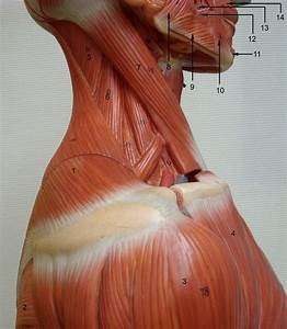 1000  Images About Neck Anatomy On Pinterest