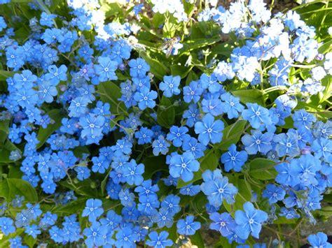blaue blumen frühling blaue blumen by sponqi08 on deviantart