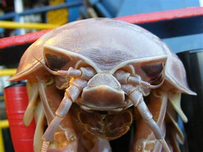 Isopod Giant Sea Facts Beneath Monsters Living