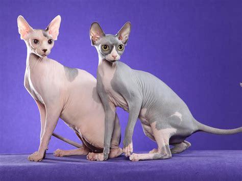 Ugliest Cat Breeds  Cats Types