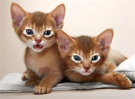 The Abyssinian Cat  Cat Breeds Catloversdiarycom