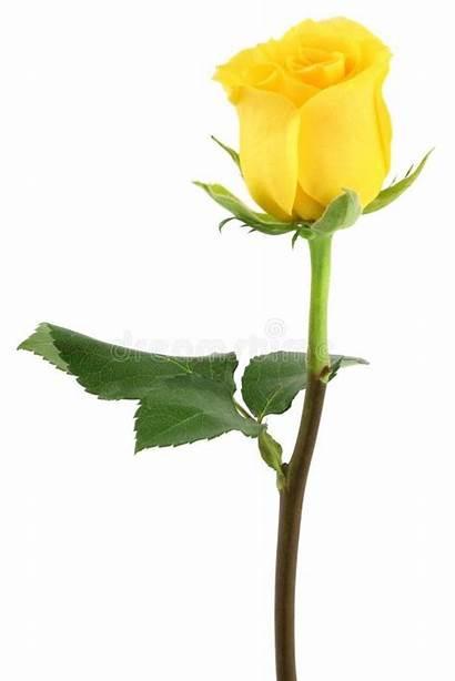 Rose Yellow Flower Rosen Clipart Morning Roses