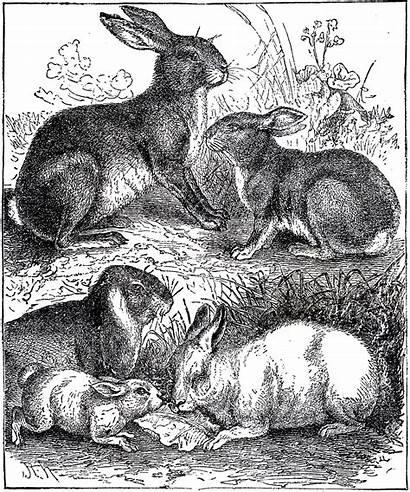 Illustration Bunny Rabbit Clip Rabbits Easter Thegraphicsfairy