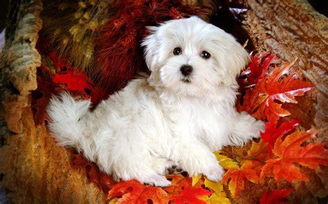 Beautiful Maltese Dog High Definition Wallpaper