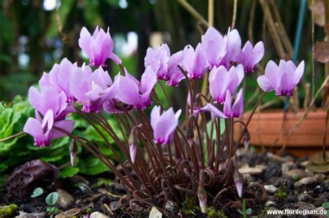 Zimmerpflanzen Datenbank Alpenveilchen by Pin Schmidt Auf Gartenblumen
