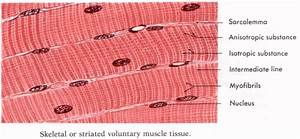 Labeled Cardiac Muscle   Labeled Cardiac Muscle Skeletal