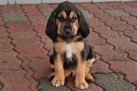 Bloodhound Breed Dog Breed Information Pictures