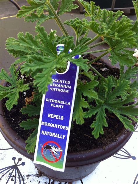 bug spray plants natural bug repellent plant a geranium gardening pinterest