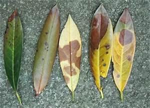 Portugiesischer Lorbeer Gelbe Blätter : kirschlorbeer krankheiten und deren ursachen ~ Eleganceandgraceweddings.com Haus und Dekorationen