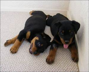 puppy life stages from birth to adulthood training tips With rottweiler dog training
