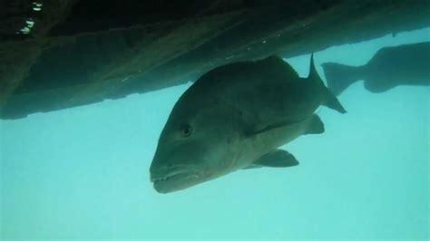 xel ha grouper