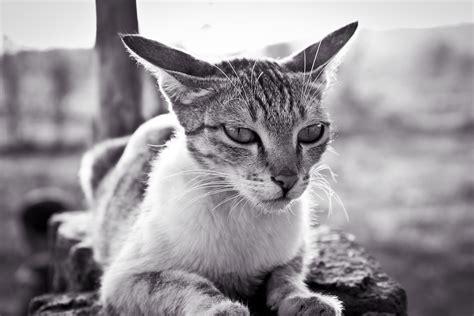 grayscale photo  white  black tabby cat  stock photo