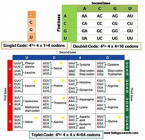 Why Is Genetic Code A Triplet Code  Logical Explanation