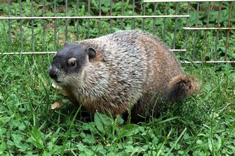 pwrc needs help naming new woodchuck chrisd ca