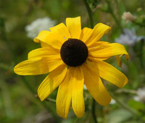 black eyed susans may 2014 new under the sun blog