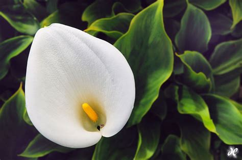 calla lilies south africa woods and waterfalls forests flowers plants and falls joshua cripps photography