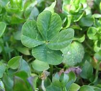 Image result for 4 leaf clover