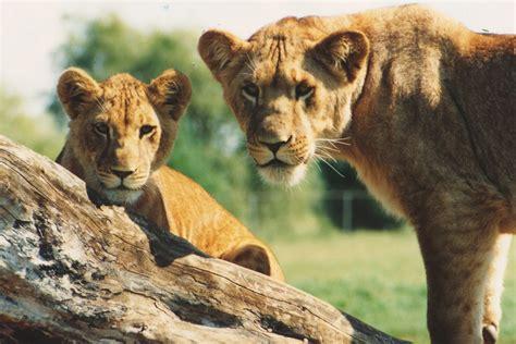 African Lion Safari with Toddlers - Hamilton Halton Brant