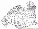 Walrus Coloring Mother Pup Pages Mural Reverse Tsb Janbrett Coloringpages101 Jan Getdrawings sketch template