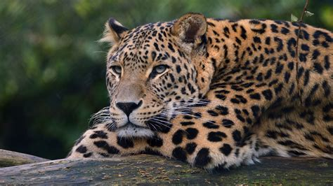 Leopard Animal Wallpaper - leopard ultra hd 4k hd animals 4k wallpapers images